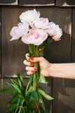 Όμορφη φρέσκια ανοικτό ροζ λαβή peonies από το θηλυκό με το κόκκινο μανικιούρ στοκ εικόνα με δικαίωμα ελεύθερης χρήσης