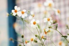 Όμορφη φρέσκια μαργαρίτα στο θερμό φως ήλιων Στοκ εικόνα με δικαίωμα ελεύθερης χρήσης