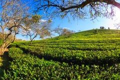 Όμορφη φρέσκια πράσινη φυτεία τσαγιού κάτω από το μπλε ουρανό Στοκ Εικόνες