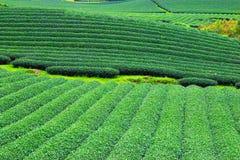 Όμορφη φρέσκια πράσινη φυτεία τσαγιού Στοκ Εικόνες