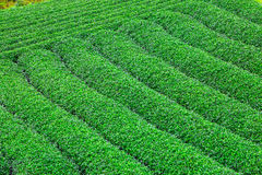Όμορφη φρέσκια πράσινη φυτεία τσαγιού Στοκ Φωτογραφία