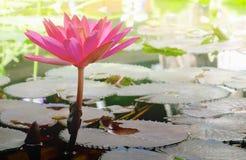 Όμορφη φυσική ρόδινη αντανάκλαση λουλουδιών λωτού στη λίμνη Στοκ φωτογραφία με δικαίωμα ελεύθερης χρήσης