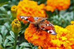 Όμορφη φωτεινή πεταλούδα Στοκ εικόνα με δικαίωμα ελεύθερης χρήσης