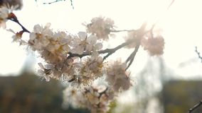 Λουλούδια ανθών άνοιξη απόθεμα βίντεο