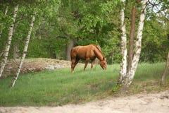 Όμορφη φύση με την κατανάλωση του αλόγου κάστανων Στοκ εικόνες με δικαίωμα ελεύθερης χρήσης