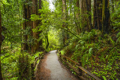 Όμορφη φύση - το δάσος Redwood - κόκκινα δέντρα κέδρων Στοκ Φωτογραφία
