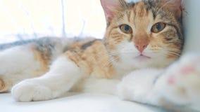 Όμορφη χαριτωμένη γάτα που γλείφει το πόδι του στη στρωματοειδή φλέβα παραθύρων με τις αστείες συγκινήσεις στο υπόβαθρο του δωματ απόθεμα βίντεο