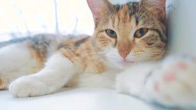 Όμορφη χαριτωμένη γάτα που γλείφει το πόδι του στη στρωματοειδή φλέβα παραθύρων με τις αστείες συγκινήσεις στο υπόβαθρο του δωματ φιλμ μικρού μήκους