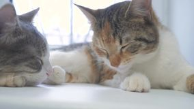 Όμορφη χαριτωμένη γάτα που γλείφει το πόδι του στη στρωματοειδή φλέβα παραθύρων με τον αστείο τρόπο ζωής συγκινήσεων στο υπόβαθρο απόθεμα βίντεο