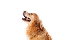 Όμορφη χρυσή Retriever φυλή σκυλιών Στοκ Φωτογραφία