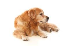Όμορφη χρυσή Retriever φυλή σκυλιών Στοκ φωτογραφία με δικαίωμα ελεύθερης χρήσης