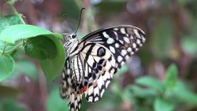 Όμορφη χρωματισμένη πεταλούδα στο πράσινο επίπεδο φύλλων τα φτερά απόθεμα βίντεο