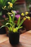 Όμορφη χλωρίδα λουλουδιών κίτρινη λίγη ορχιδέα Στοκ Εικόνες