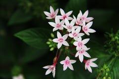 Όμορφη χλωρίδα ρόδινο Ixora λουλουδιών Στοκ φωτογραφία με δικαίωμα ελεύθερης χρήσης