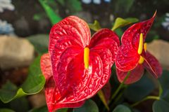 Όμορφη Anthurium ή φλαμίγκο άνθιση λουλουδιών Στοκ εικόνες με δικαίωμα ελεύθερης χρήσης