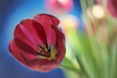 Όμορφη burgundy κόκκινη παπαρούνα υποβάθρου τουλιπών μπλε Στοκ Εικόνα