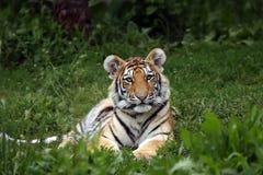 όμορφη cub τίγρη στοκ φωτογραφίες