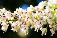 όμορφη floral άνοιξη ανασκόπησης Ανθίζοντας κλάδος δέντρων κάστανων Μακρο sativa άνθος Castanea λουλουδιών άποψης άσπρο Στοκ Εικόνες