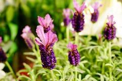 Όμορφη lavenders άνθιση στοκ φωτογραφία