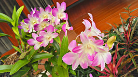 Όμορφη Orchid άνθιση Στοκ εικόνα με δικαίωμα ελεύθερης χρήσης