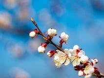 Όμορφοι άσπροι κλάδοι ανθίζοντας βερίκοκα την άνοιξη στο μπλε ουρανό υποβάθρου στοκ φωτογραφίες με δικαίωμα ελεύθερης χρήσης