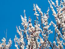 Όμορφοι άσπροι κλάδοι ανθίζοντας βερίκοκα την άνοιξη στο μπλε ουρανό υποβάθρου στοκ εικόνα