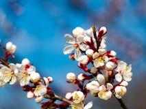 Όμορφοι άσπροι κλάδοι ανθίζοντας βερίκοκα την άνοιξη στο μπλε ουρανό υποβάθρου στοκ εικόνες