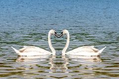 Όμορφοι άσπροι κύκνοι στη μορφή καρδιών Στοκ φωτογραφία με δικαίωμα ελεύθερης χρήσης
