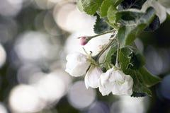 Όμορφοι άσπροι λουλούδια και οφθαλμοί στους κλάδους του δέντρου μηλιάς Στοκ φωτογραφία με δικαίωμα ελεύθερης χρήσης