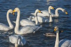 Όμορφοι άσπροι whooping κύκνοι Στοκ Φωτογραφία
