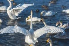 Όμορφοι άσπροι whooping κύκνοι Στοκ φωτογραφία με δικαίωμα ελεύθερης χρήσης