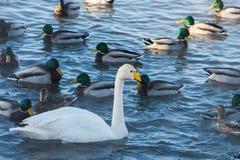 Όμορφοι άσπροι whooping κύκνοι Στοκ Εικόνες