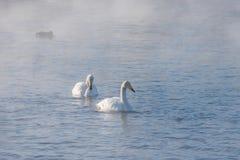 Όμορφοι άσπροι whooping κύκνοι Στοκ εικόνα με δικαίωμα ελεύθερης χρήσης