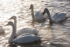Όμορφοι άσπροι whooping κύκνοι Στοκ εικόνες με δικαίωμα ελεύθερης χρήσης