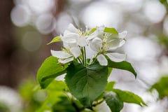 Όμορφοι ανθίζοντας κλάδοι άνοιξη των δέντρων με την άσπρη μακροεντολή λουλουδιών και εντόμων στοκ εικόνες