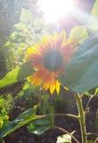 Όμορφοι ηλίανθοι με το φως του ήλιου στον κήπο tha στοκ εικόνες με δικαίωμα ελεύθερης χρήσης