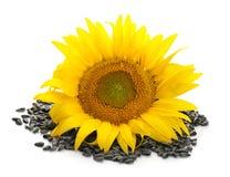 Όμορφοι ηλίανθος και σπόροι στοκ εικόνα με δικαίωμα ελεύθερης χρήσης