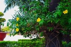 Όμορφοι θάμνοι με τα κίτρινα λουλούδια και δέντρα με τα πράσινα φύλλα στο Βιετνάμ στοκ εικόνες