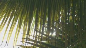 Όμορφοι θάμνοι φοινικών μέσω των οποίων διαπερνά την ακτίνα του φωτός απόθεμα βίντεο