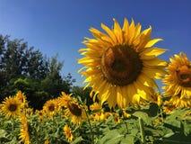 Όμορφοι κίτρινοι ηλίανθοι λουλουδιών το καλοκαίρι Στοκ Φωτογραφίες