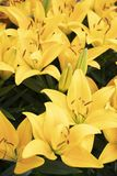 Όμορφος κρίνος στον κήπο στοκ εικόνες με δικαίωμα ελεύθερης χρήσης