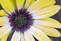 Όμορφοι κίτρινος και Purpe Daisy που καίγεται στο θερινό ήλιο Στοκ εικόνες με δικαίωμα ελεύθερης χρήσης