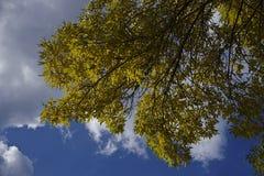 Όμορφοι κλάδοι μπλε ουρανού και φθινοπώρου στοκ εικόνες με δικαίωμα ελεύθερης χρήσης