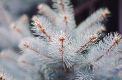 Όμορφοι κλαδίσκοι των μπλε ερυθρελατών Στοκ Εικόνα