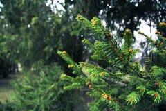 Όμορφοι κλάδοι δέντρων πεύκων στη δασικά φύση και τα δέντρα Δέντρο κωνοφόρων Στοκ Φωτογραφίες