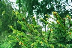 Όμορφοι κλάδοι δέντρων πεύκων στη δασικά φύση και τα δέντρα Δέντρο κωνοφόρων Στοκ φωτογραφία με δικαίωμα ελεύθερης χρήσης