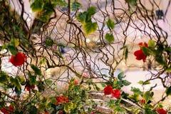 Όμορφοι κλάδοι των κόκκινων τριαντάφυλλων που ανθίζουν στον κήπο για το υπόβαθρο ή τη σύσταση, ημέρα βαλεντίνων ` s Στοκ Εικόνες