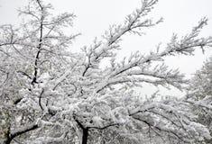 Όμορφοι κλάδοι χειμερινών δέντρων με πολύ χιόνι καλυμμένος χειμώνας δέντρων χιονιού Στοκ Εικόνα