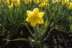 όμορφοι νάρκισσοι κίτρινοι Στοκ εικόνα με δικαίωμα ελεύθερης χρήσης
