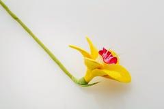 όμορφοι νάρκισσοι κίτρινοι Στοκ Φωτογραφίες